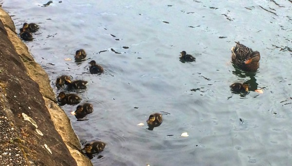 12 ducklings with mom