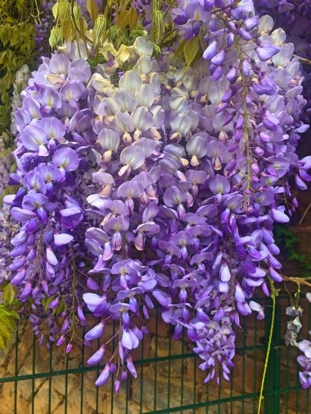 Wisteria is beautiful toxic plant in the garden.