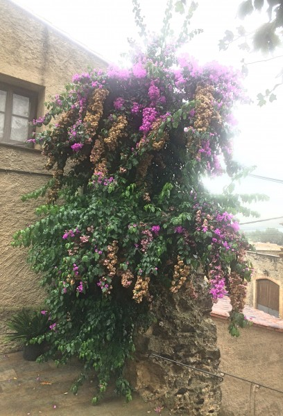 Dali: bougainvillea by the entrance to the castle.